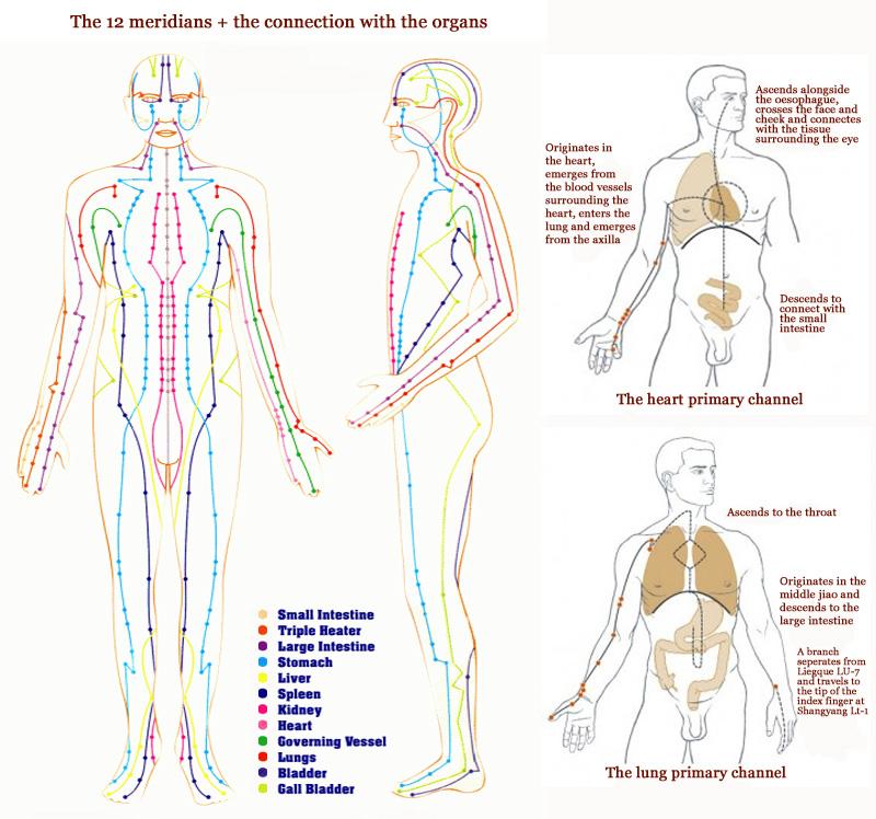 Organes, parallèles, méridiens